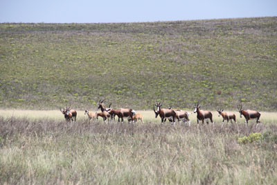Herd of Bontebok